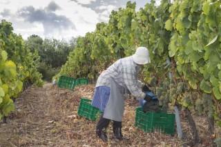 """Remata unha vendima """"excelente"""" en Monterrei con 4,7 millóns de quilos de uva"""