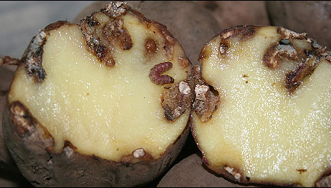 Llega a Galicia la polilla guatemalteca, una nueva plaga de la patata