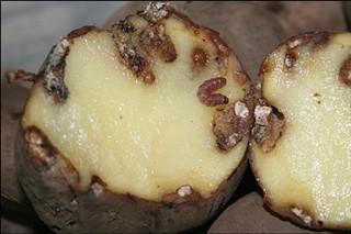 A partir de mediados de marzo prohibirase plantar pataca nos 31 concellos afectados pola couza guatemalteca