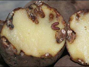 Axudas da Xunta para os afectados pola couza da pataca
