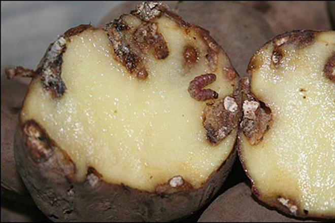 Resultado de imagen de polilla patata