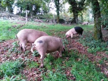 Xornada técnica sobre crianza sustentable do porco celta nas carballeiras e soutos galegos