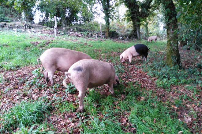 Xornada sobre crianza do porco celta nos soutos e carballeiras de Galicia