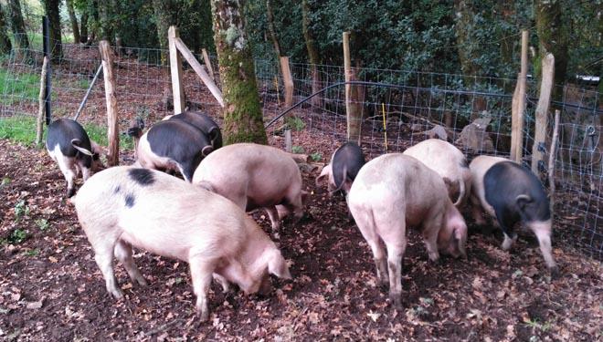 Importante descenso das vendas de carne de Porco Celta a raíz da crise do coronavirus