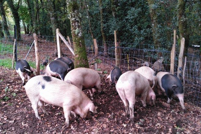 Importante descenso de las ventas de carne de Porco Celta a raíz de la crisis del coronavirus
