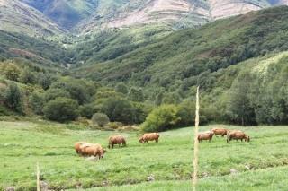 El vacuno de carne gallego se prepara para crear organizaciones de productores