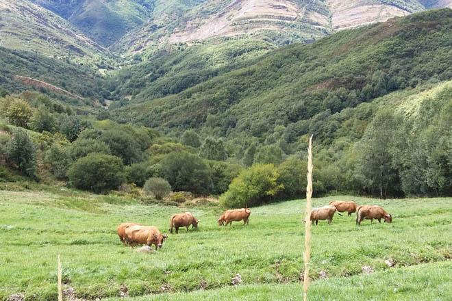 O vacún de carne galego prepárase para crear organizacións de produtores