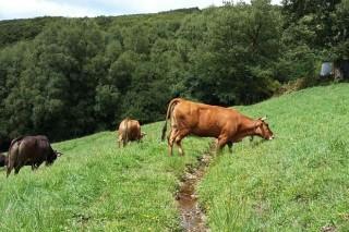 Preocupación polas dificultades do mercado de vacún de carne