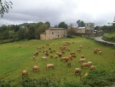 A Xunta confía en que a comezos de 2017 Galicia sexa declarada rexión indemne á brucelose bovina