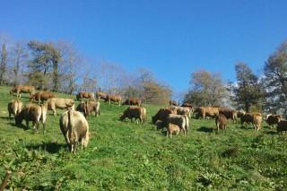 5611 ganderías de vacún de carne de Galicia recibirán de media 1400 euros de axudas pola Covid 19