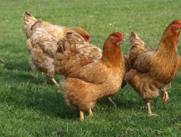 Curso de introducion á avicultura artesanal