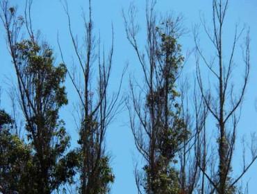 Ence prevé obter plantas de eucalipto con tolerancia á praga do gorgullo