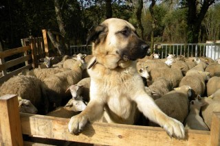 Xornada en Friol sobre a coexistencia entre o lobo e a gandería