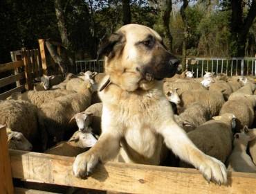 Jornada en Friol sobre la coexistencia entre el lobo y la ganadería