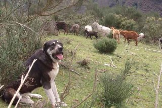 Xornadas sobre os danos do lobo e o uso de mastíns e doutras razas caninas para protexer o gando