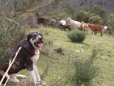 Convocadas as axudas para  previr os danos provocados polo lobo e o xabarín