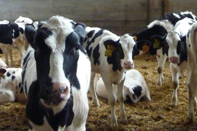 As tres claves para mellorar a eficiencia alimentaria das xovencas en vacún de leite