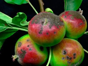 Recomendacións para o coidado das maceiras durante estas semanas