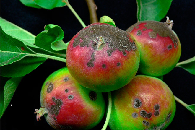 Recomiendan tratar los manzanos contra el moteado