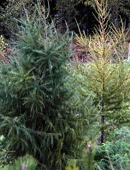 A distinta orixe de plantas da mesma especie determina a caída das follas en intres diferentes.
