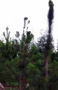 'Pinus elliottii', no arboreto de Lourizán.