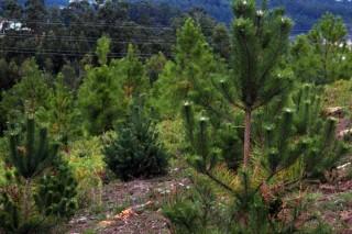 Árbores centinelas do cambio climático