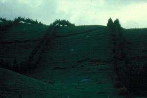 Ovellas e producción de madeira en Nova Zelanda. / Imaxe: Eloi Villada.