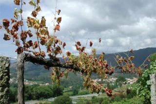 Enfermidades da madeira en viñedo (II):  poda, recuperación das cepas e tratamentos