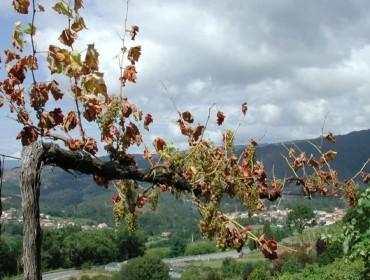 Enfermedades de la madera en viñedo (II): poda, recuperación de las cepas y tratamientos