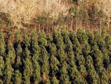 La crisis del pino genera incertidumbre sobre su futuro en el monte gallego
