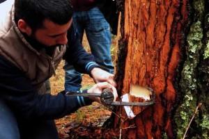 Preparación de un pino para iniciar su resinado.