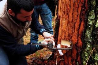 Preparación de un pino con el método tradicional de pica de corteza.