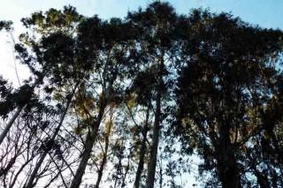 ¿Es siempre el eucalipto el árbol más rentable?