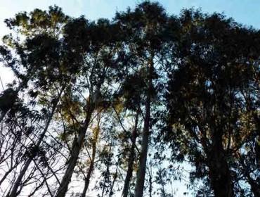 É sempre o eucalipto a árbore máis rendible?