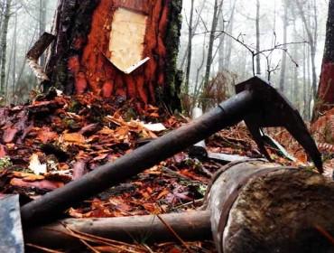 Curso de resinado de pinos en Mondoñedo