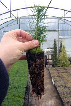 Produccion planta forestal raiz desnuda photo 79
