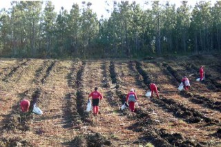 Cinco cuestiones a tener en cuenta en las plantaciones de pino
