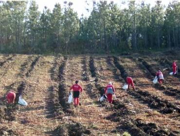 Cinco cuestións a ter en conta nas plantacións de piñeiro