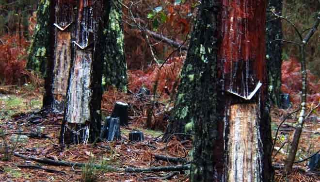 La resina se hace hueco en los pinares gallegos