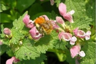 ¿Que flora en Galicia ten máis interese para a apicultura?
