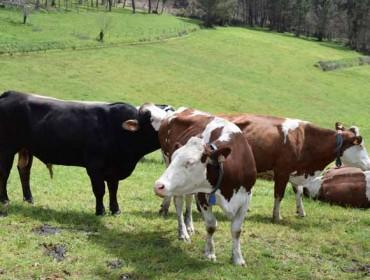 Medra un 15% o numero de gandarías de vacún de leite en ecolóxico en España