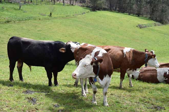 Crece un 15% el numero de ganaderías de vacuno de leche en ecológico