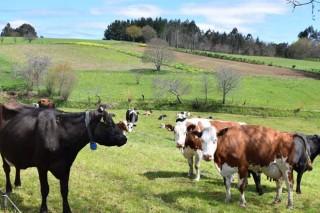 Advirten da necesidade de reducir custos ante unha previsible baixada do prezo do leite ecolóxico