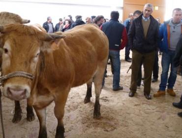 Adjudicadas las cuatro novillas de Acruga en A Fonsagrada a una media de 1.937 euros