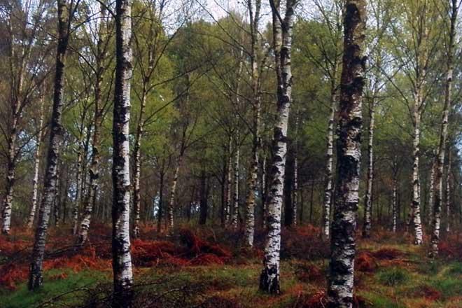 Medio Ambiente subvencionará en Rede Natura a sustitución de eucaliptos por frondosas