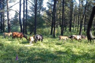 O descenso de cabalos no monte aumenta o risco de danos do lobo na gandería