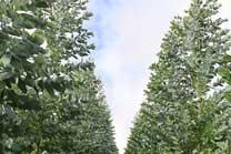 Guía de cultivo del eucalipto
