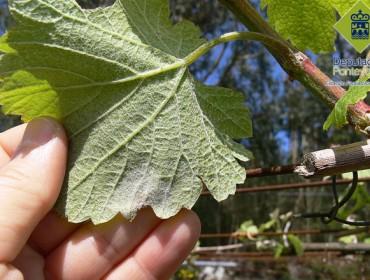 Produtos fitosanitarios sen carné para as enfermidades da viña