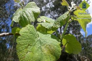 Areeiro detecta un incremento dos ataques de Mildeu  á uva e á pataca