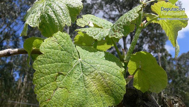 Detectan las primeras manchas de Mildiu en los viñedos de Rías Baixas